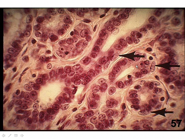 Picture from Histology Lab 02. Epithelium